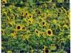 7000 Sonnenblumen von Urs Heinrich zur Fusion zweier Spitäler